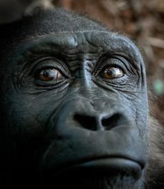 national geographic gorilla images | tweet photo and caption by pavel glazkov peaceful gorilla observing ...