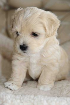 White Havanese Puppies havanese puppy dog http://www.zazzle.com/alwaysdogs/havanese?q=havanese