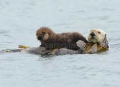 Sea Otter Mother With Adorable Baby / Infant In The Kelp, Big Sur, California Stock Image - Image of female, father: 29410445 Baby Puppies, Dogs And Puppies, Cute Dogs, Cute Babies, Baby Animals, Cute Animals, Otters Cute, Monterey Bay Aquarium, Baby Sloth