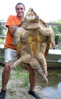 Bildresultat för alligator snapping turtle
