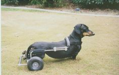 Daphne in a Dachshund sized dog wheelchair