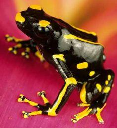 Poison Dart Frog (Dendrobates tinctorius), Peru.