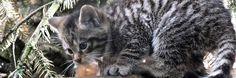 new-life-at-the-highland-wildlife-park #scotland #wildlife #scottish #animals #scottish #wildcat