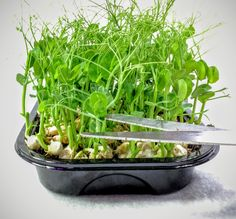 We have been fascinated to discover a wonderful source of pea shoots that is incredibly productive. Our pea shoot kits feature a variety of peas that have been bred for their prolific production of...