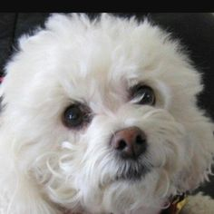 Little bichon face! Looks like my Bichon dog! Almost has exact nose! Bichon Dog, Maltese Dogs, Animals And Pets, Baby Animals, Cute Animals, Beautiful Dogs, Animals Beautiful, Cute Puppies, Dogs And Puppies