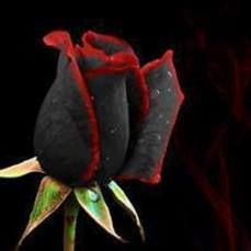 Black Rose with red edges. Wow.. Gorgeous inside and out. Wanted the brightness and the darkness. I would travel all the way to Turkey to bring these home.