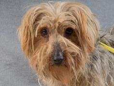 Adopt Vesper, a lovely 6 years  3 months Dog available for adoption at Petango.com.  Vesper is a Terrier, Yorkshire and is available at the National Mill Dog Rescue in Colorado Springs, Co. www.milldogrescue... #adoptdontshop #puppymilldog #rescue #adoptyourfriendtoday