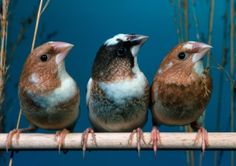 Finches learn even when practice isn't perfect : Nature News & Comment