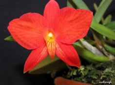 Orchid: Sophronitis coccinea