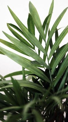 Plants, Inspiration and Greenery Green Plants, Tropical Plants, Palm Plants, Green Leaves, Plant Leaves, Nature Verte, Plant Aesthetic, Aesthetic Green, Deco Nature