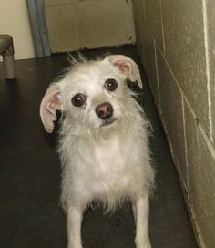"""""""CHARLIE"""", Male, 2Yrs 0 Months   white Terrier Dog 12883"""