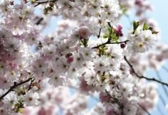Cherish the fleeting beauty of spring year-round with this cherry blossom mural. The photo-realistic quality makes a splash of pink and white flowers on the wall, celebrating life and love. x 8 Panel Mural Paste Included Vinyl Coated Paper Wallpaper Roll, Photo Wallpaper, Wall Wallpaper, Winnie Pooh Tapete, Large Wall Murals, Brewster Wallpaper, Pink And White Flowers, Spring Blossom, Beautiful Wall