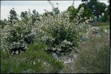 Phildadelphus Lewisii. Dry clay. Intensely fragrant, nearly 2 inch blooms. Xeriscape Shrub.