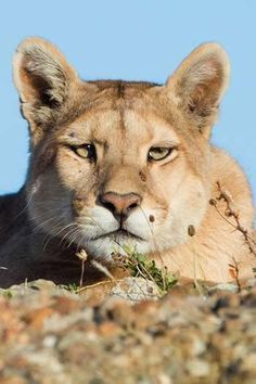 A Puma Doing a Little Tracking From Afar. (Wildlife Photo by Chilean Patagonia). Pumas Animal, Beautiful Cats, Animals Beautiful, Baby Animals, Cute Animals, Wild Animals, Exotic Cats, Wild Forest, Mountain Lion