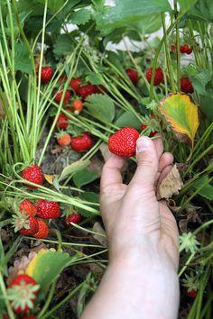 strawberry picking, Pemberton, British Columbia, Canada