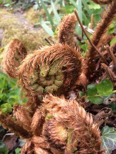 Unfurling fern fronds
