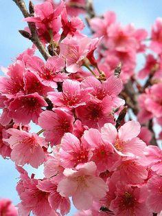 flor de cereijeira japão   flor de cerejeira tem um significado especial é conhecida como a flor ...