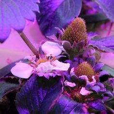 Happy little strawberry plant under Happy Leaf LEDs. #strawberry #flower #happyleaf #horticulture #indoorgardening #growlights #LEDs #organicgardening #hydroponics #plantnursery