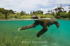 Pygmy Three-toed sloth, Panama