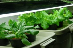 Indoor hydroponic greens under fluorescent lighting. Ebb And Flow Hydroponics, Vertical Hydroponics, Home Hydroponics, Hydroponic Grow Box, Hydroponics System, Hydroponic Gardening, Hydroponic Tomatoes, Family Garden, Grow Your Own Food