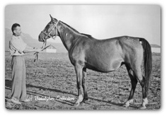 """Mammona (Ofir x Krucica). """"As a suckling foal, Mammona walked 1,000 miles from Janow Podlaski to Tersk with her dam. Several months after arriving at Tersk, all the horses had to be moved to the East into Asia to avoid the Nazi Army. Many of the Thoroughbred and half-blood horses evacuated in this 2,000 mile march were not equal to the journey. NONE of the Arabians died. The tiny purebred Arabian filly, Mammona, survived this trip."""" Dam of Nomenklatura and Pomeranets."""