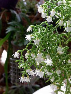 Nome Botânico: Rhipsalis neves-armandii Nomes Populares: Ripsalis Família: Família Cactaceae Origem: Brasil Cacto epífita de filocládios pequenos, muito ramificado. Atinge cerca de 40cm e forma...