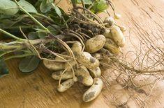 Erdnuss (Arachis hypogaea)