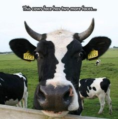 Cow w/ human face markings