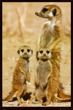 Meerkats I love these animals they are so cute...