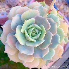 how to plantRose succulents succulents potssucculents planting succulents arrangements Lovely baby succulent plants gardenLovely baby succulent plants garden Propagating Succulents, Succulent Gardening, Cacti And Succulents, Planting Succulents, Planting Flowers, Pink Succulent, Container Gardening, Mini Terrarium, Succulent Terrarium