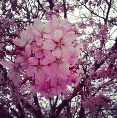 Kirsikankukkia äitienpäivänä ©sisustuscoco #pientalojapiha