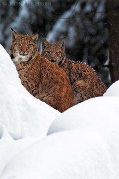 2 Lynx in Snowy Bavaria