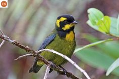 https://www.facebook.com/WonderBirdSpecies/ Gold-ringed tanager (Bangsia aureocincta); Endemic to Colombia; IUCN Red List of Threatened Species 3.1 : Endangered (EN)(Loài nguy cấp)    Chim Tanager vòng vàng; Loài đặc hữu Colombia; HỌ TANAGER - THRAUPIDAE (Tanagers).