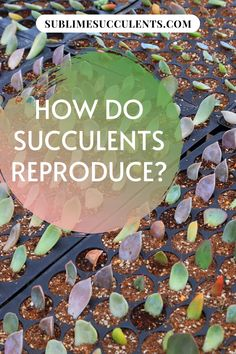 Do you want to know how do succulents reproduce? Succulent reproduction is not a complicated or elaborate process. With a little knowledge, you too can breed and propagate succulents. Whether you're interested in owning more of your favorite plant or you want to create the next big hybrid, succulent reproduction is quite easy, even for inexperienced gardeners. Check this pin for a complete guide! #succulents #gardening #reproduction #succulentgardening Succulent Species, Succulent Seeds, Succulent Care, Succulent Gardening, Growing Succulents From Seed, Types Of Succulents, Cacti And Succulents, Propagate Succulents, Flowering Succulents