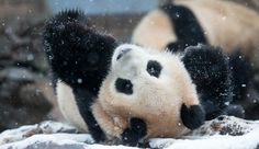 Giant Panda Plays In The Snow In Adorable Viral Video [Video]