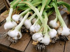 Learn how to plant and grow garlic! Growing garlic at home is so satisfying, and you'll have garlic all year long! Growing Spinach, Growing Peas, Growing Lettuce, Growing Ginger Indoors, Garlic Benefits, Winter Plants, Plant Diseases, Large Plants, Medicinal Herbs