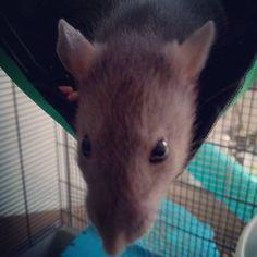 https://flic.kr/p/TVdj7S | Rat dumbo uni bleu poil lisse Née le 07/03/2017 À l'adoption  #action4pets #actionforpets #association #adoption #rat