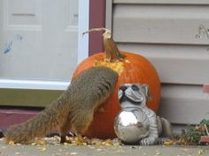 Fall:How to Keep Squirrels from Eating Your Pumpkins ** very clever writer!