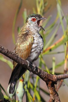 The Little Bronze Cuckoo (Chrysococcyx minutillus) is a species of cuckoo in the Cuculidae family. It is found in Australia, Cambodia, Indonesia, Malaysia, Papua New Guinea, Singapore, Thailand, and Vietnam.