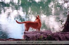http://www.CaliforniaCarolinaDogs.com