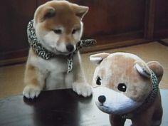 real Shiba interested in plush shiba