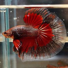 1000 images about xyz exotic fish betta on pinterest for Best place to buy betta fish online