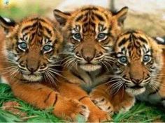 Cachorritos de tigres!