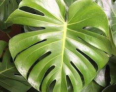 Growing plants for over 45 years in beautiful North FL. by SecretGardenPlants Monstera Deliciosa, Heat Pack, 45 Years, Low Lights, Growing Plants, Houseplants, Botanical Gardens, Vines, Roots