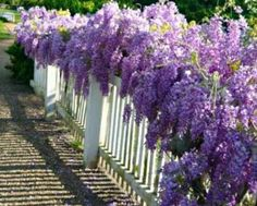 tips and tricks Wisteria is one of the most popular old world flowering vines. Wisteria is one of the most popular old world flowering vines. You can try growing wisteria in a pot, here Beautiful Gardens, Beautiful Flowers, Beautiful Gorgeous, The Secret Garden, Fence Plants, House Plants, Garden Plants, Sun Plants, Flowering Plants