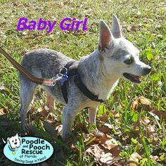 Baby Girl is a 9-year-old, 8-pound Chihuahua girl.  Poodle and Pooch Rescue - Adoptable Dogs - www.pprfl.org