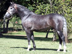 Criollo - stallion J & B Da Reconquista. WANT ONE - great cross for quarter Horse