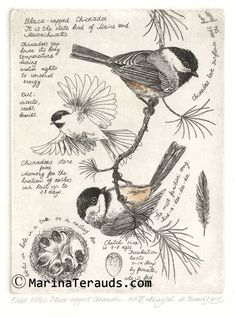 www.marinaterauds.com etchings fnblackcappedchickadee images AP06-23232.jpg