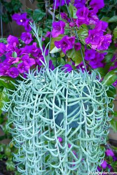 Fishhooks Senecio, or String Of Fishhooks, trails like crazy & is easy to grow. It makes a great houseplant. Get tips & watch the video. #succulents #gardening