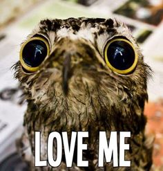 Animal pictures are usually popular online because the animals are cute and adorable or ferocious and fearsome. The Potoo bird, however, is neither majestic nor Funny Animal Quotes, Funny Animals, Cute Animals, Amor Animal, Mundo Animal, Baby Owls, Baby Animals, Potoo Bird, Animal Pictures